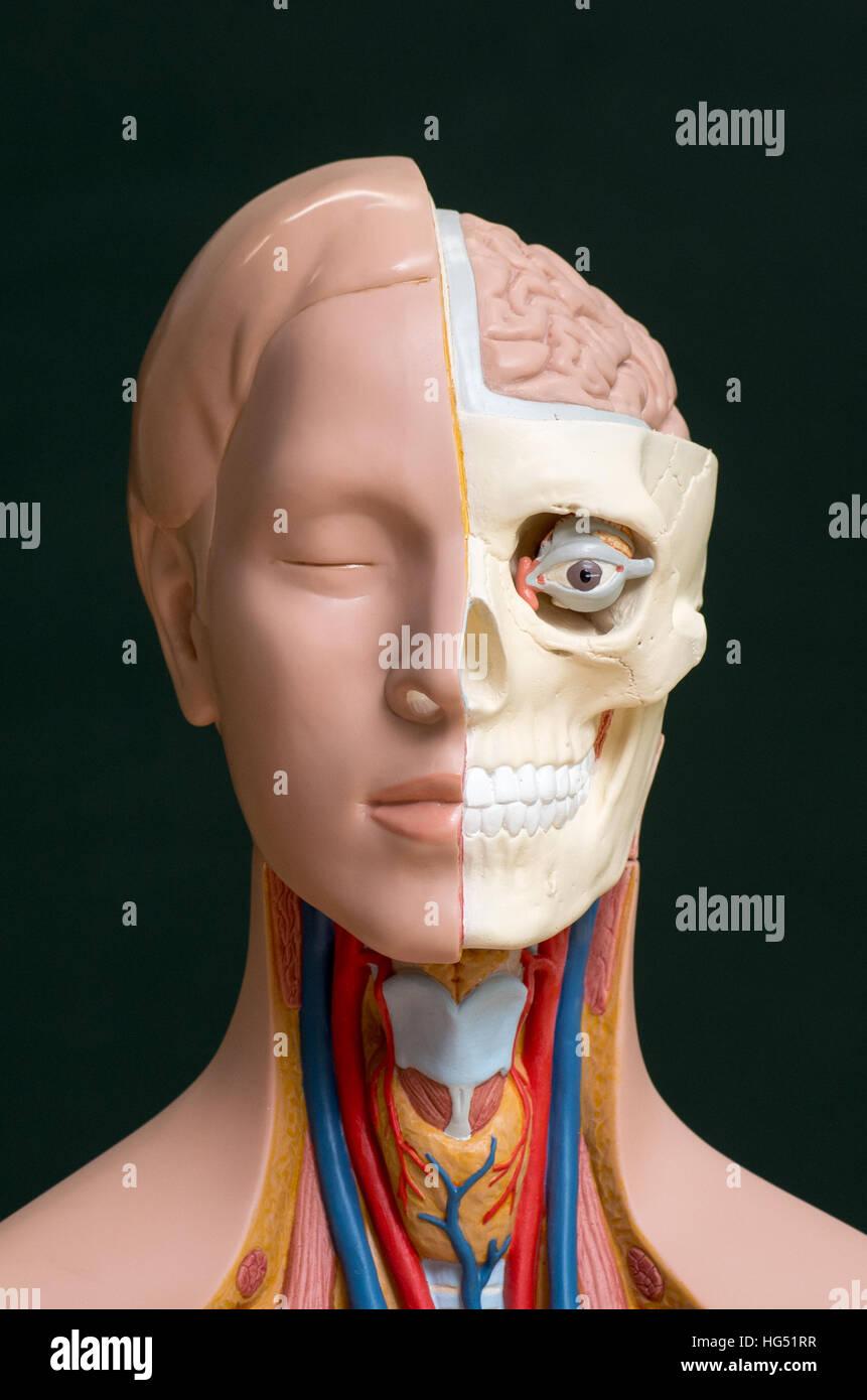 Groß 4d Menschliche Anatomie Modell Fotos - Anatomie Und Physiologie ...