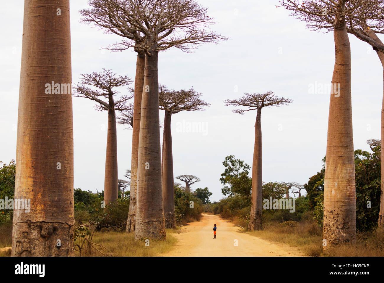 Allee de Baobab (Affenbrotbäume), Westregion Stockfoto