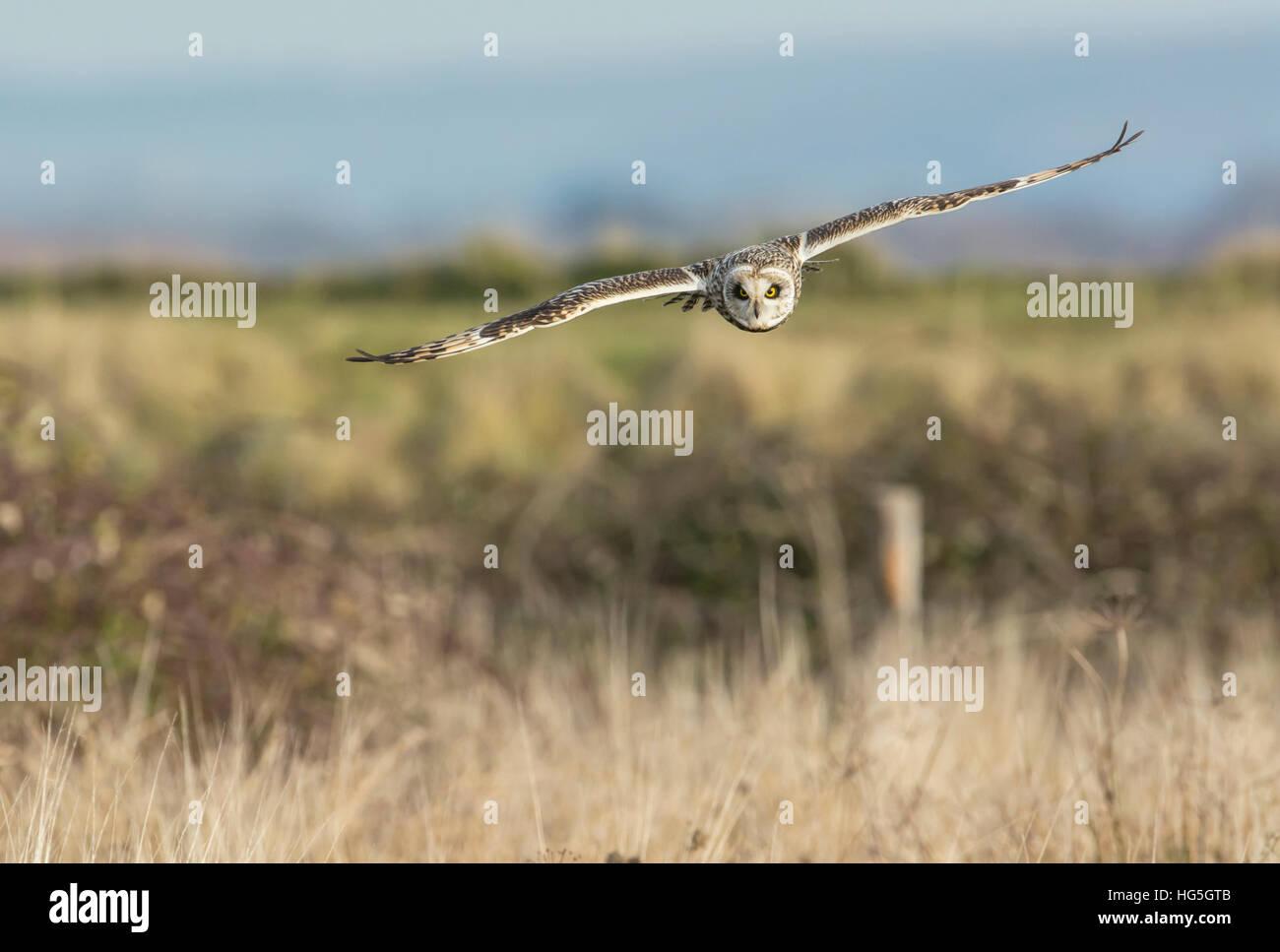 Sumpfohreule (Asio Flammeus) überfliegen Küsten Weide im winter Stockfoto