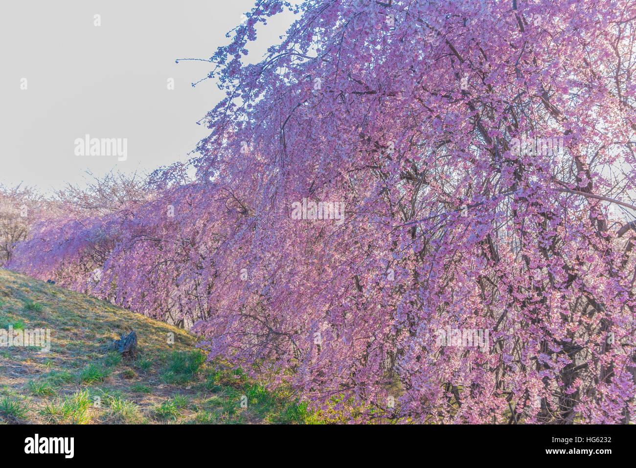 Schöne Wand der Kirschblüte in voller Blüte Stockfoto, Bild ...