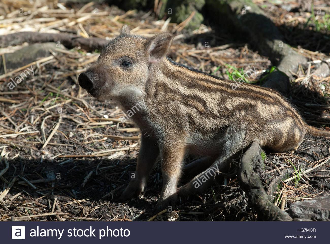 Eine europäische Wildschwein-Ferkel. Stockfoto
