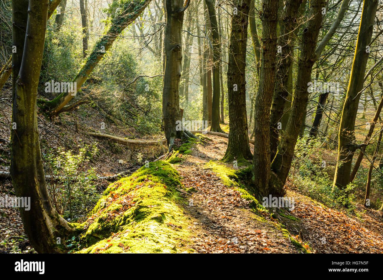 Wald-Pfad über Brock Boden im Wald von Bowland AONB Lancashire England Stockbild