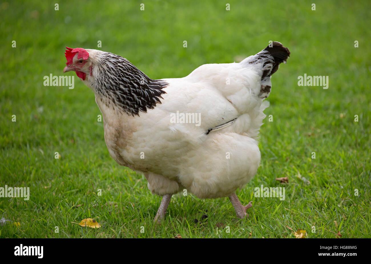 Leichte Sussex-Huhn, alleinstehenden zu Fuß auf dem Rasen, Cornwall, UK Stockbild
