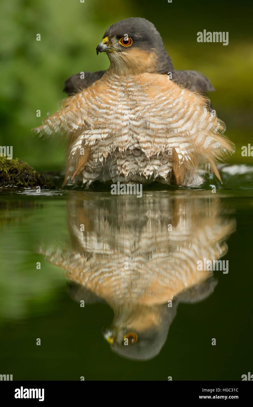 Sperber (Accipiter Nisus) mit seinen Überlegungen zu trinken Stockbild