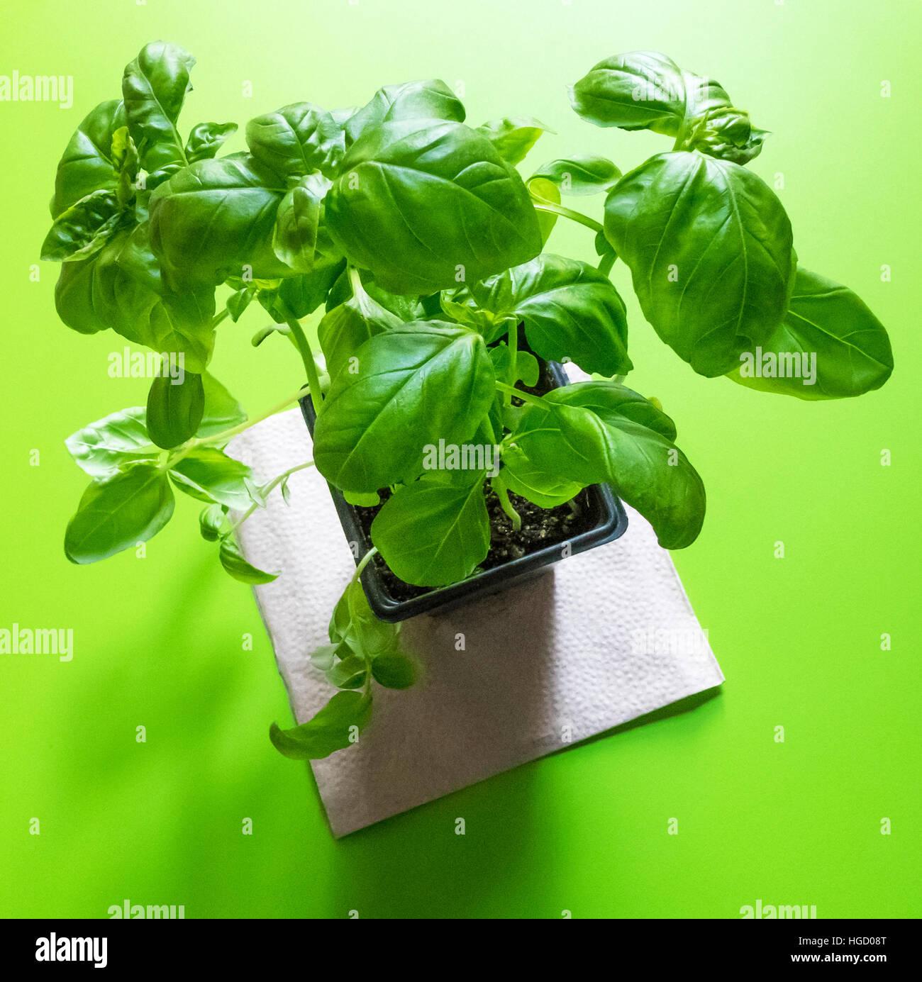 Live Basilikum Pflanze Stockbild