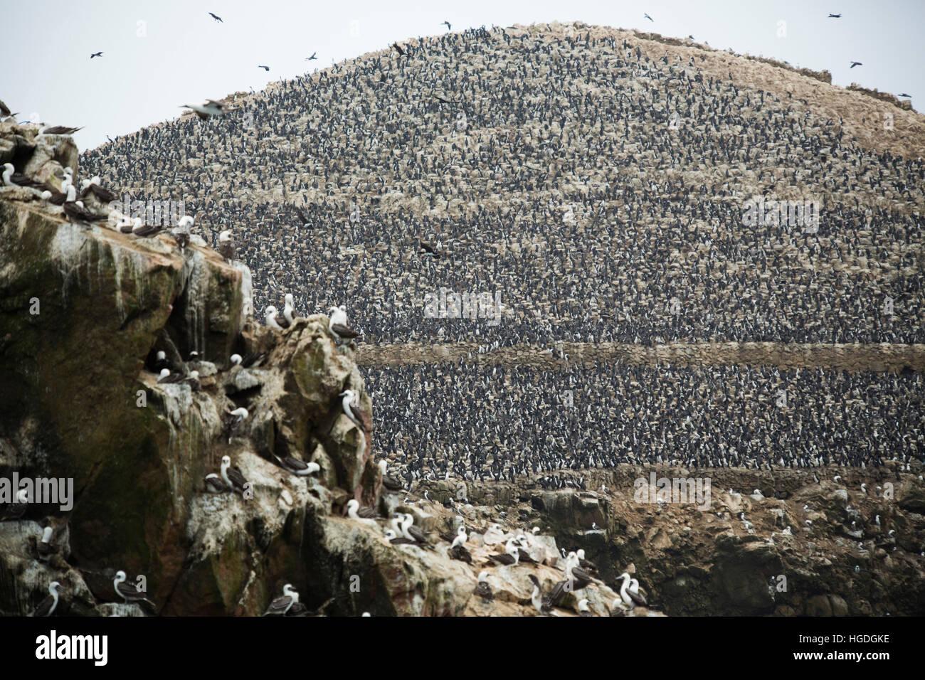 Pelikan auf Ballestas Inseln Stockbild