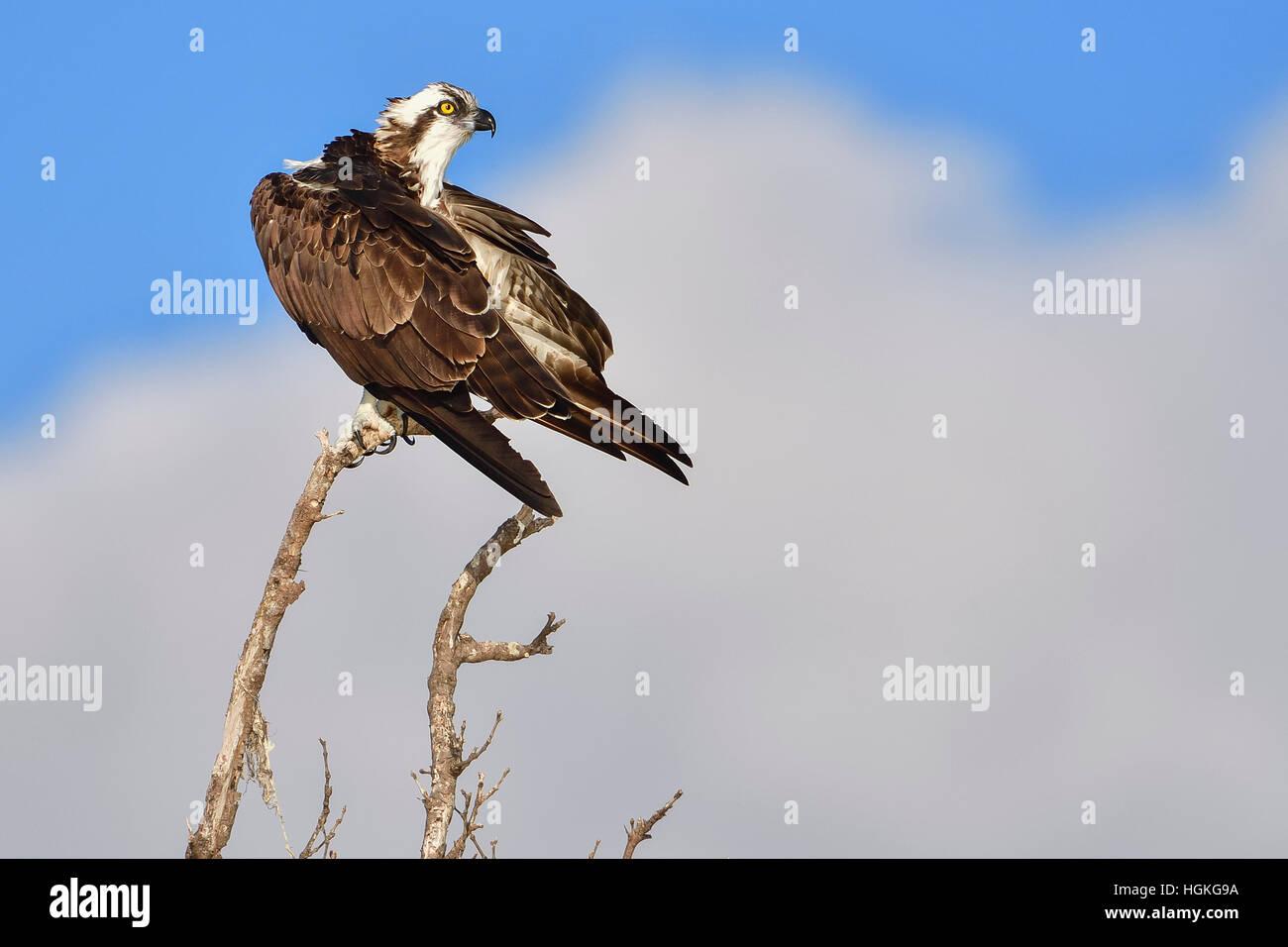 Fischadler, Fort Myers, Florida Stockfoto