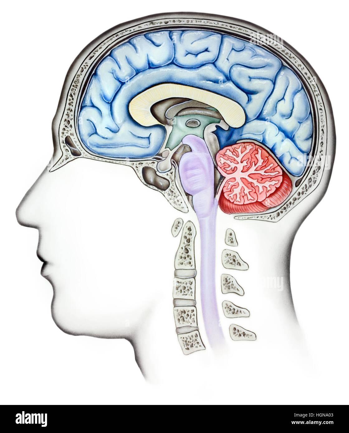 Anatomie des menschlichen Gehirns, Cutaway Seitenansicht. Gezeigt ...