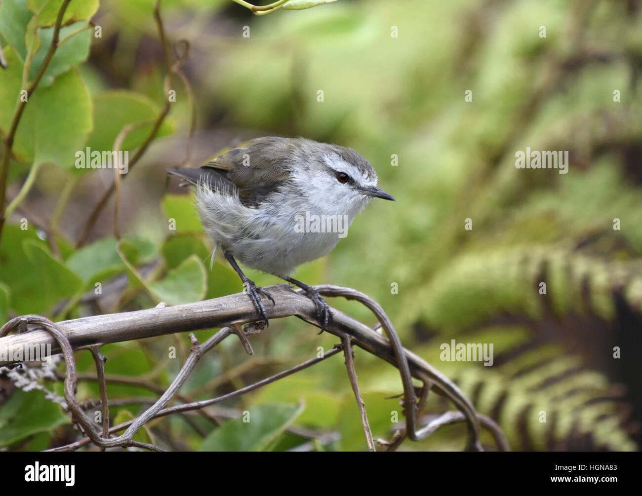 Chatham-Inseln Warbler - Gerygone albofrontata Stockbild