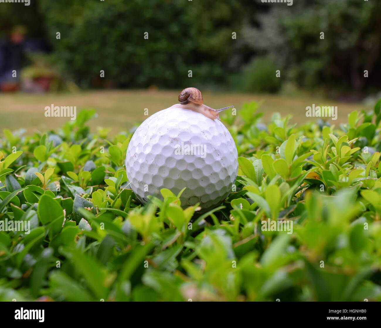 kleine Schnecke auf Golfball platziert auf Garten Hecke Garten im