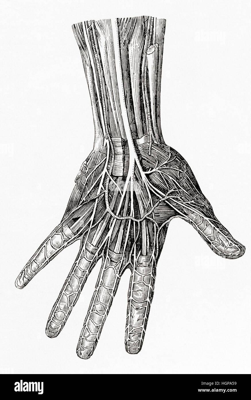 Atemberaubend Hand Nerven Bilder - Menschliche Anatomie Bilder ...