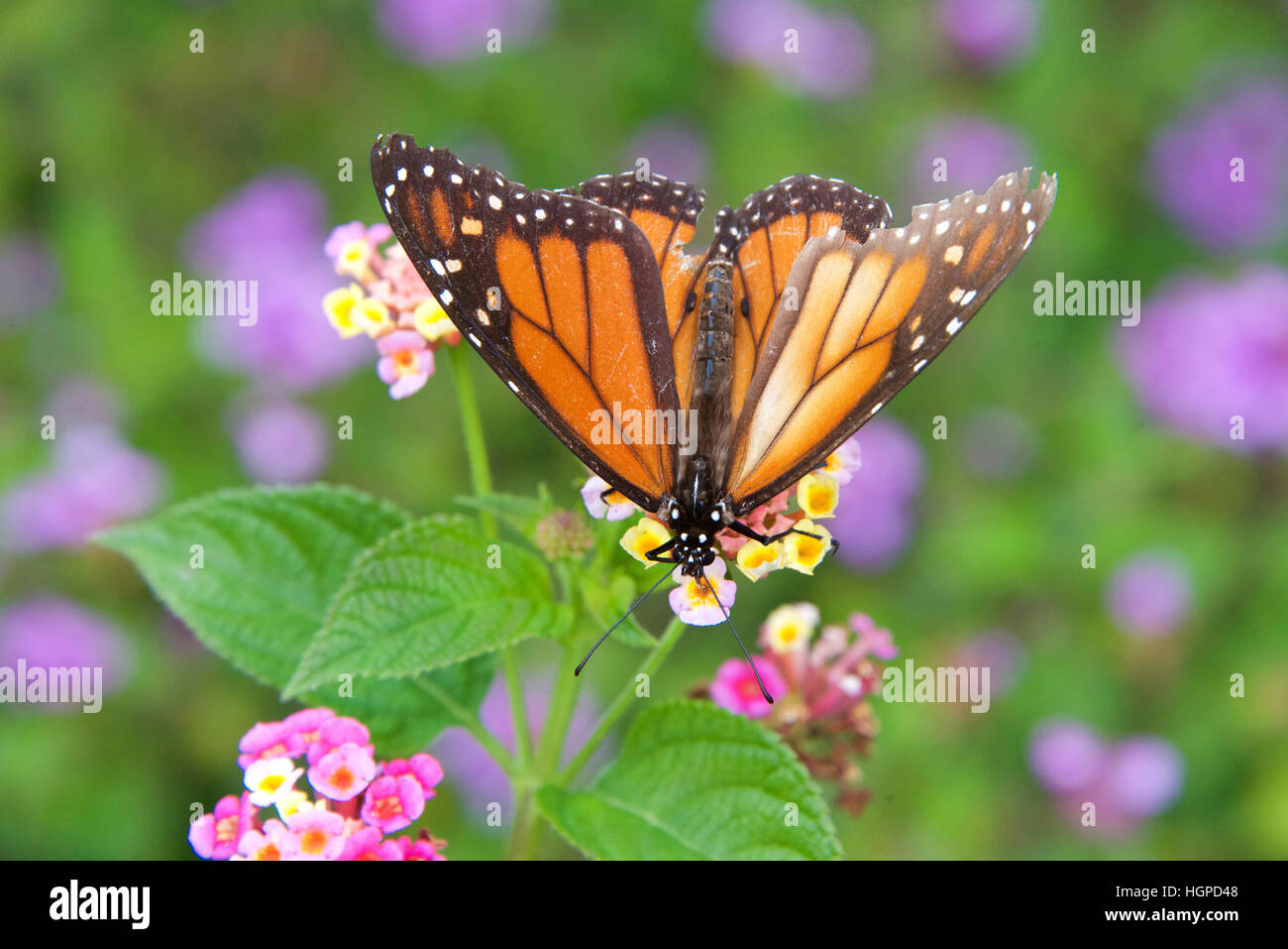 Graceful Insect Stockfotos & Graceful Insect Bilder - Seite 8 - Alamy