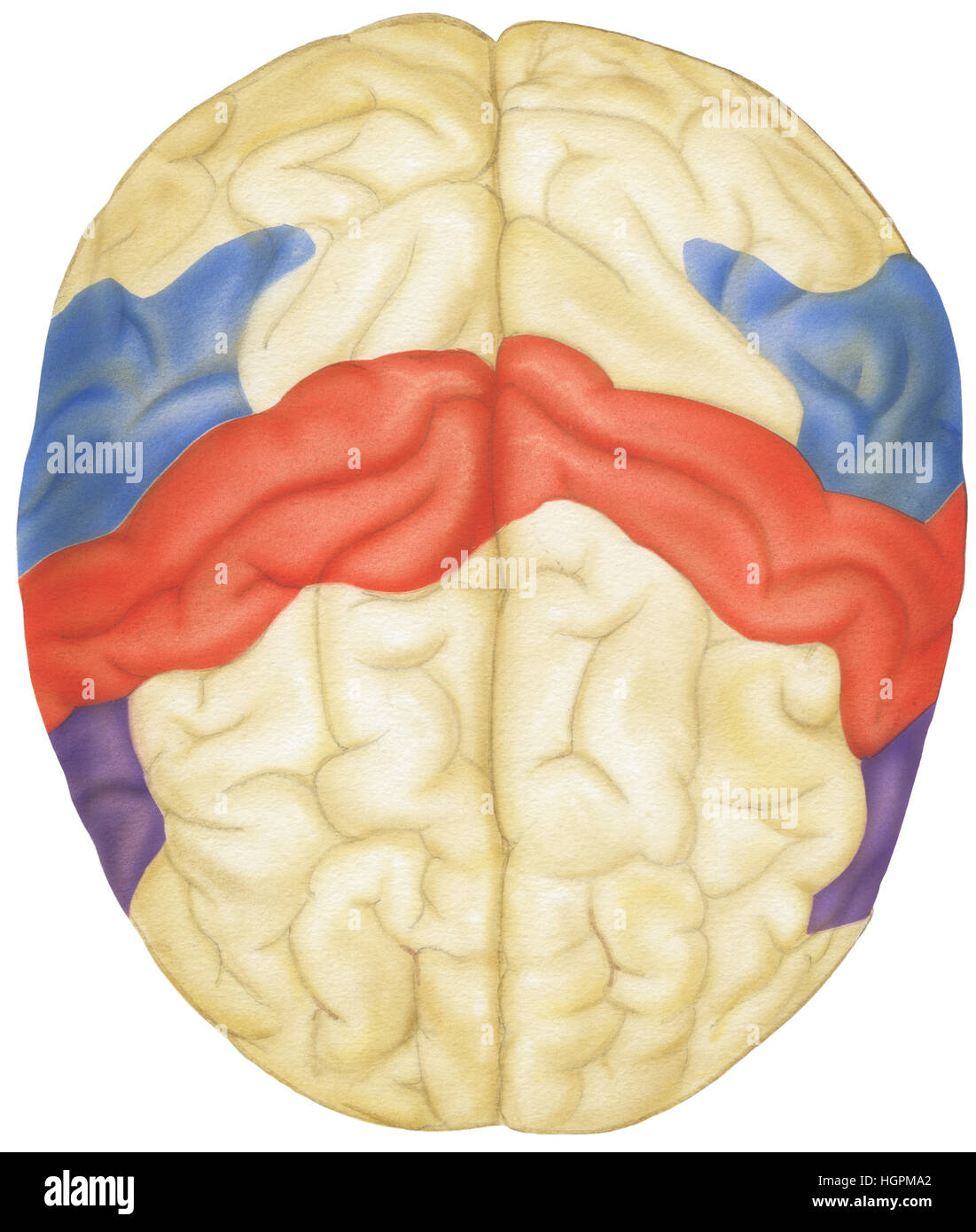 Draufsicht des menschlichen Gehirns. Gezeigt werden die Parietal ...