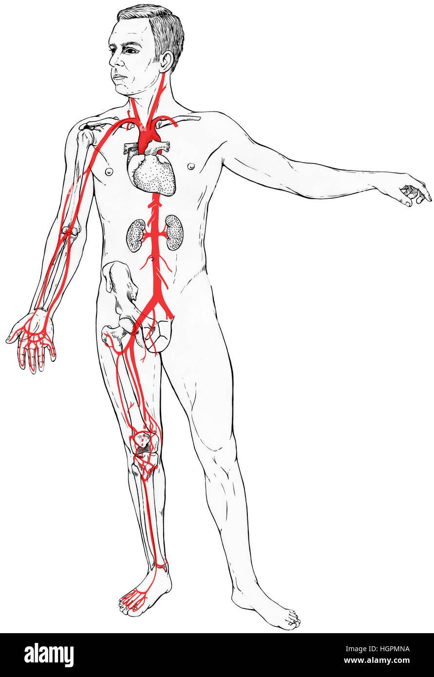 Männliche Figur mit wählen Sie Organe, Knochen und Blutgefäße ...