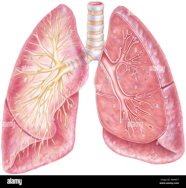 Lungen - Schnittperspektive. Menschliche Lunge zeigt die Luftröhre ...