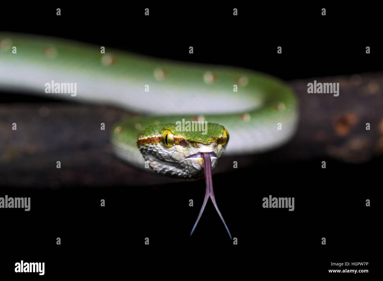 Wagler Grubenotter (Tropidolaemus Wagleri) Probenahme Luftteilchen mit gespaltener Zunge im tropischen Regenwald Stockbild