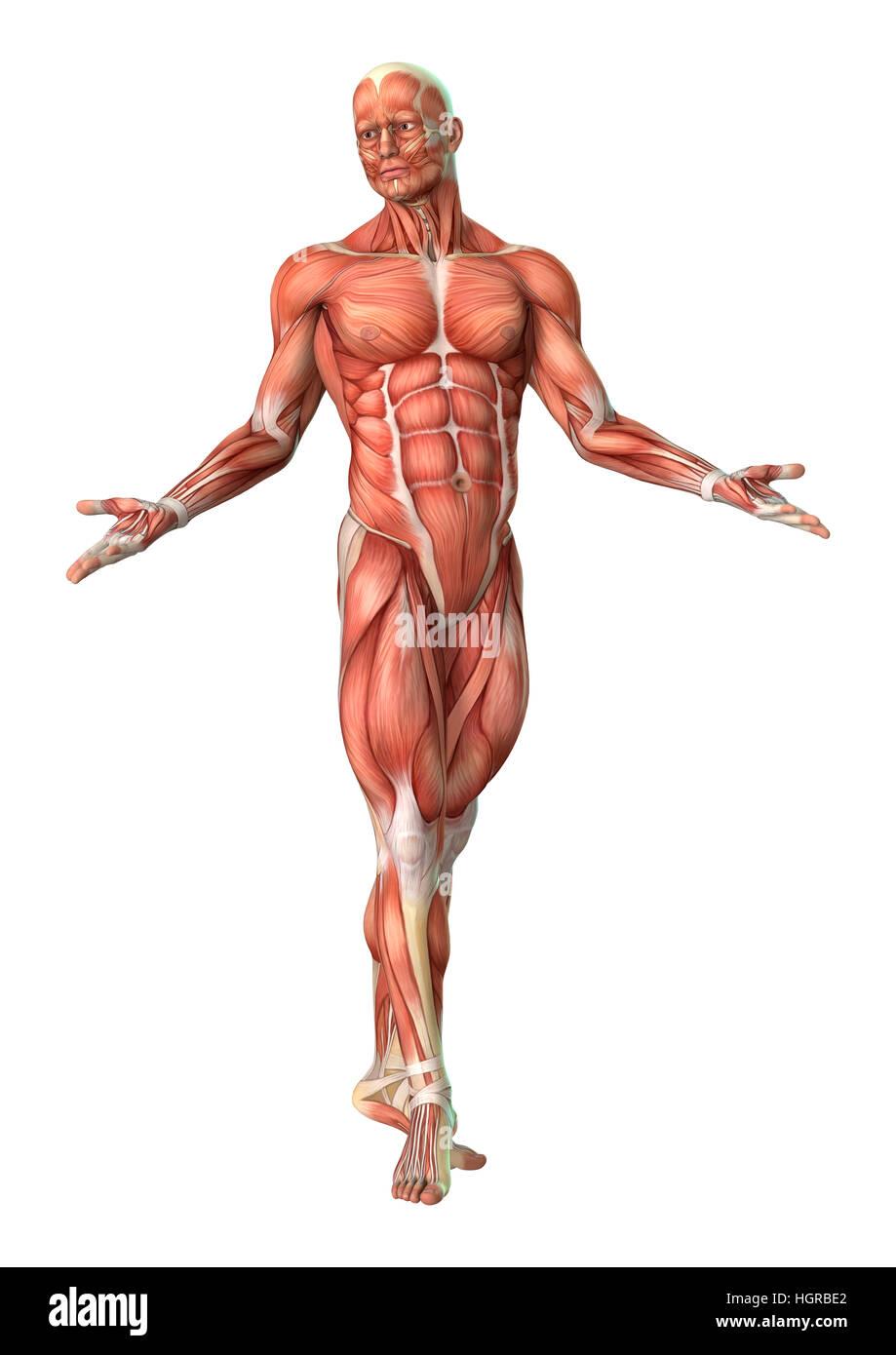Erfreut Männlicher Muskel Diagramm Fotos - Physiologie Von ...
