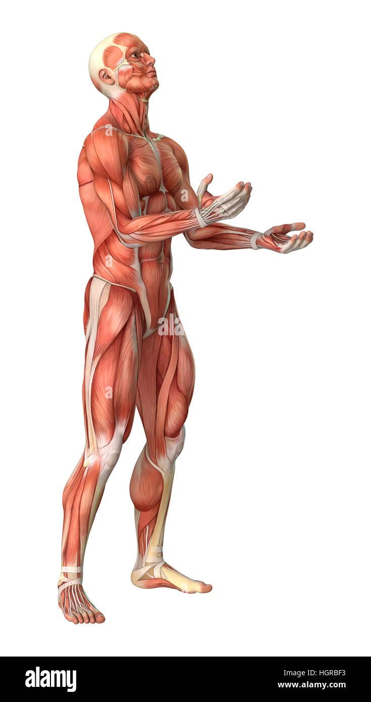 Erfreut Menschlicher Muskel Karte Fotos - Anatomie Von Menschlichen ...