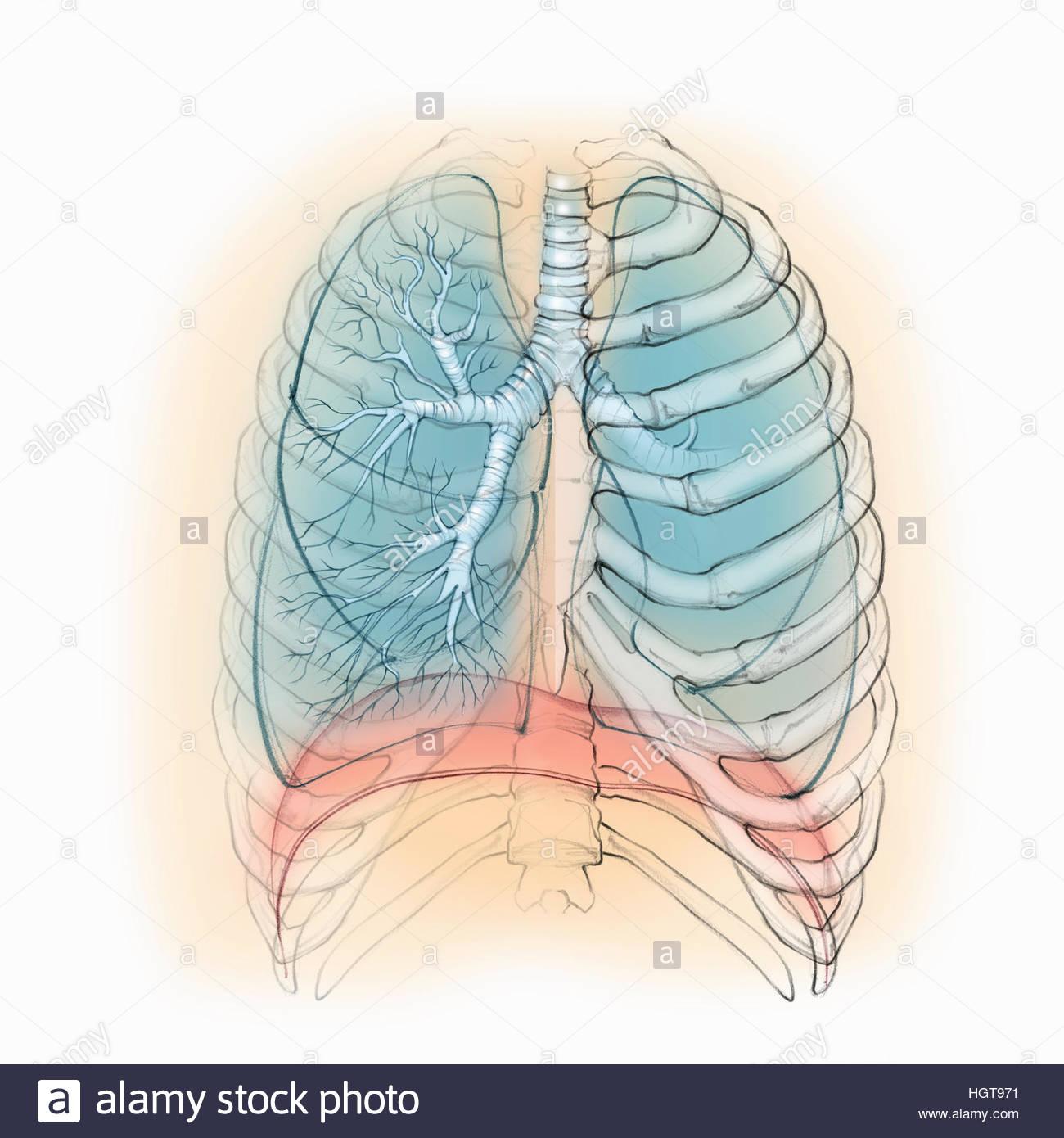 Menschliche Lunge und Atemwege Stockfoto, Bild: 130841173 - Alamy