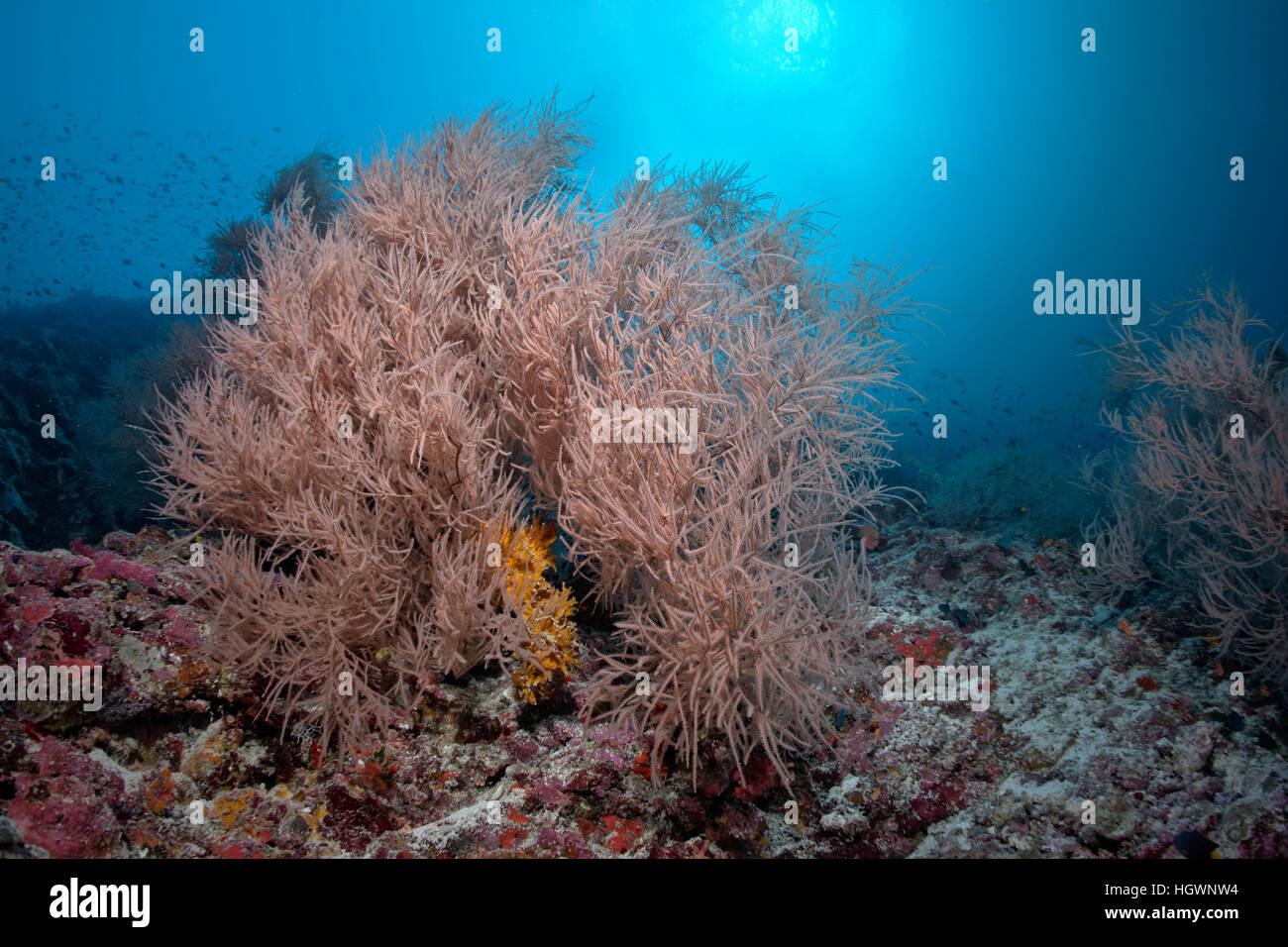 Korallenriff mit schwarze Koralle (Antipathes sp.) Lhaviyani Atoll, Malediven Stockbild