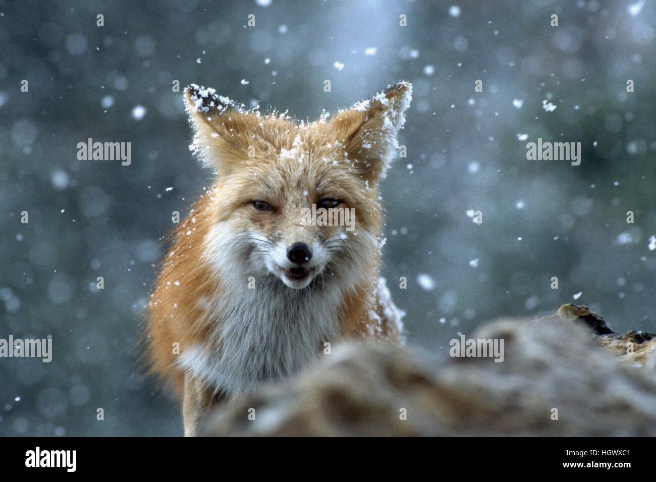 Fuchs mit bedrohlichen Blick Stockbild