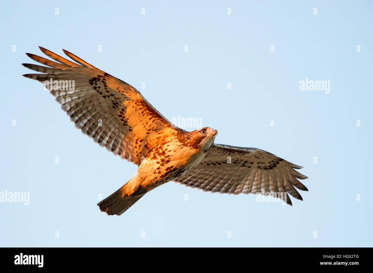 Ein rot - angebundener Falke fliegt overhead wie am ersten Morgen scheint die Sonne auf seinem Körper. Stockbild