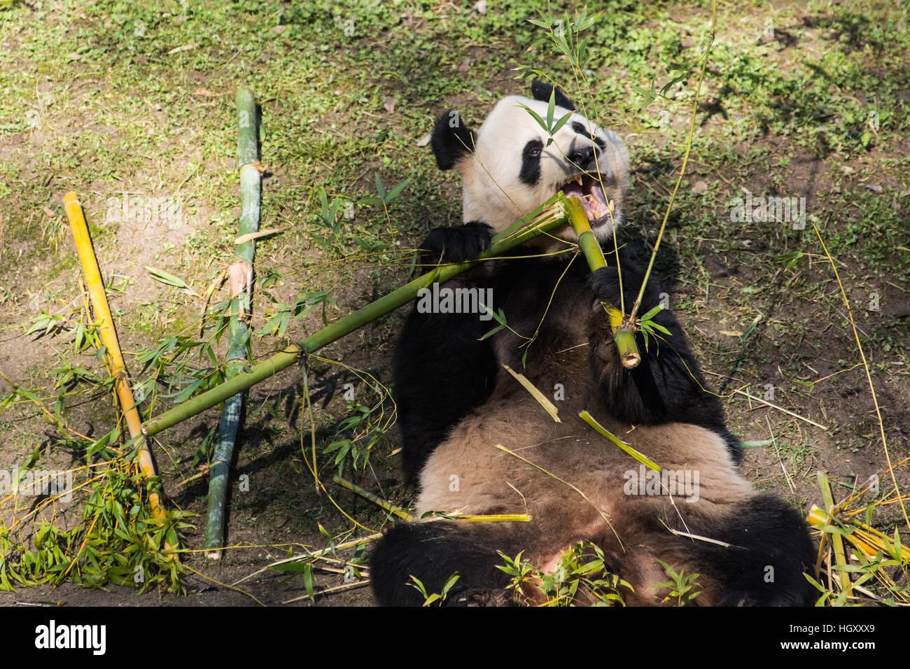 Panda Bar Essen Bambus In Madrid Zoo Aquarium Stockfoto Bild