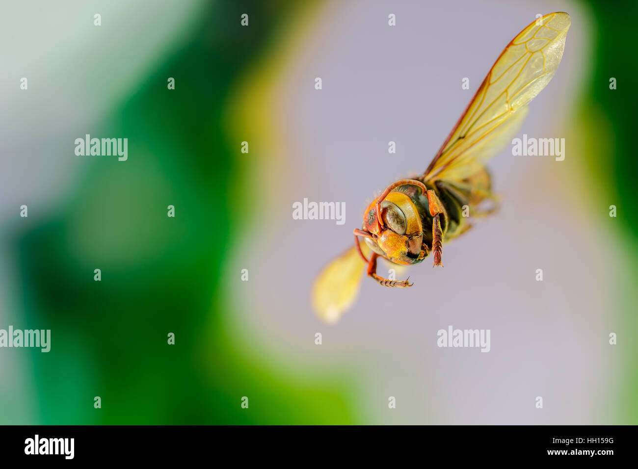 flying insect stockfotos flying insect bilder alamy. Black Bedroom Furniture Sets. Home Design Ideas
