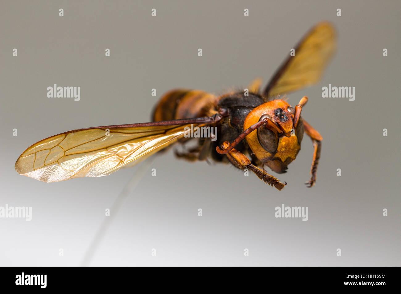 fliegende wespe insekt auf wei em hintergrund stockfoto bild 130947872 alamy. Black Bedroom Furniture Sets. Home Design Ideas