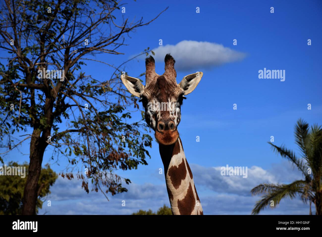 Die Giraffe in Ihrem Lebensraum Stockbild