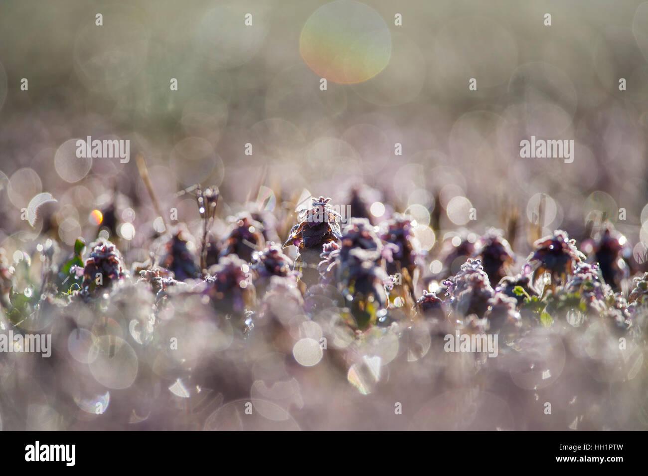 Ein kleines Feld von Tau bedeckt lila Blüten ist zurück von der Morgensonne beleuchtet. Stockbild