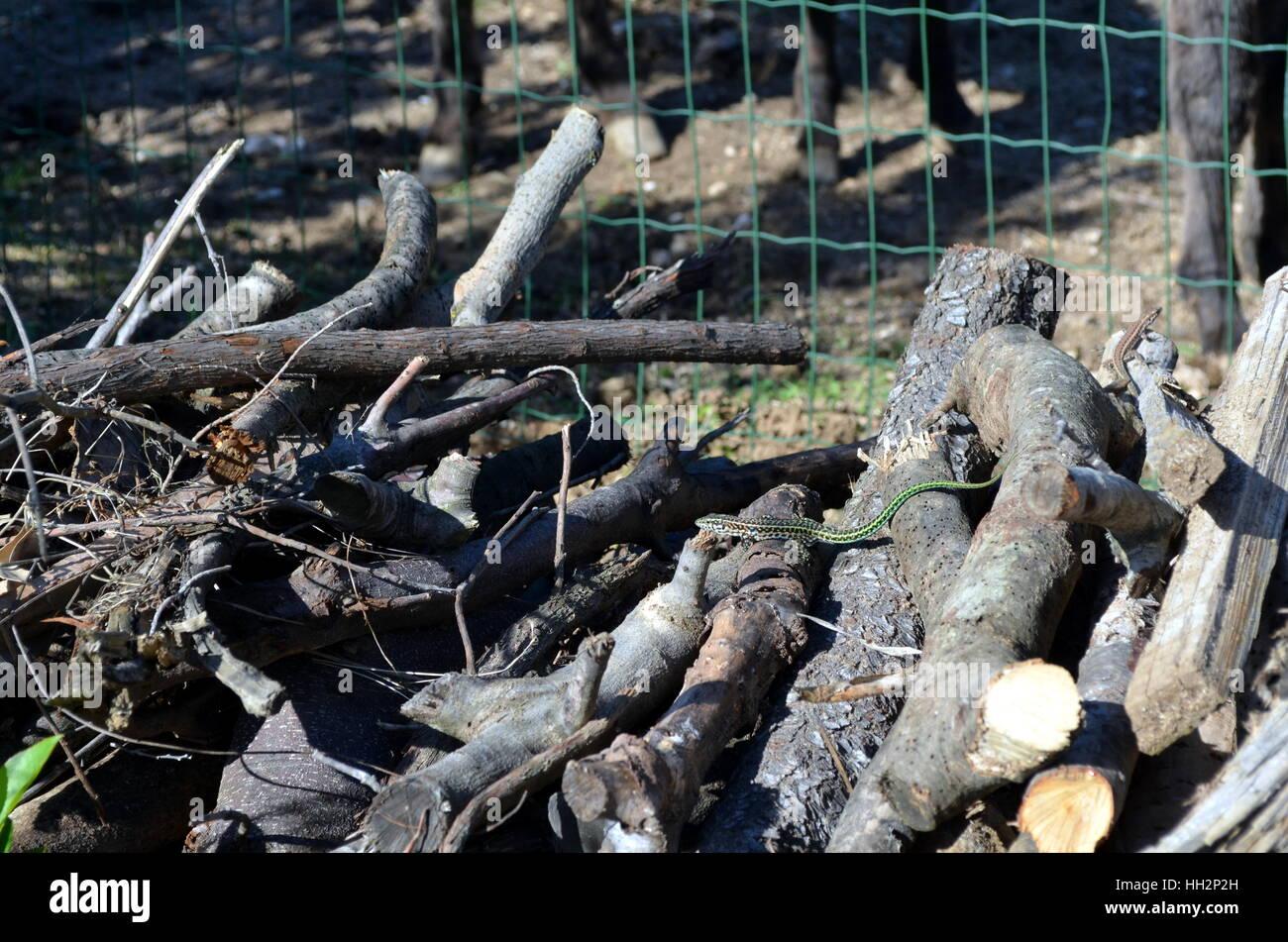 Kleine grüne Ranke Schlange, Ahaetulla Nasuta in einem Holzstapel Chrysopelea ornata Stockfoto