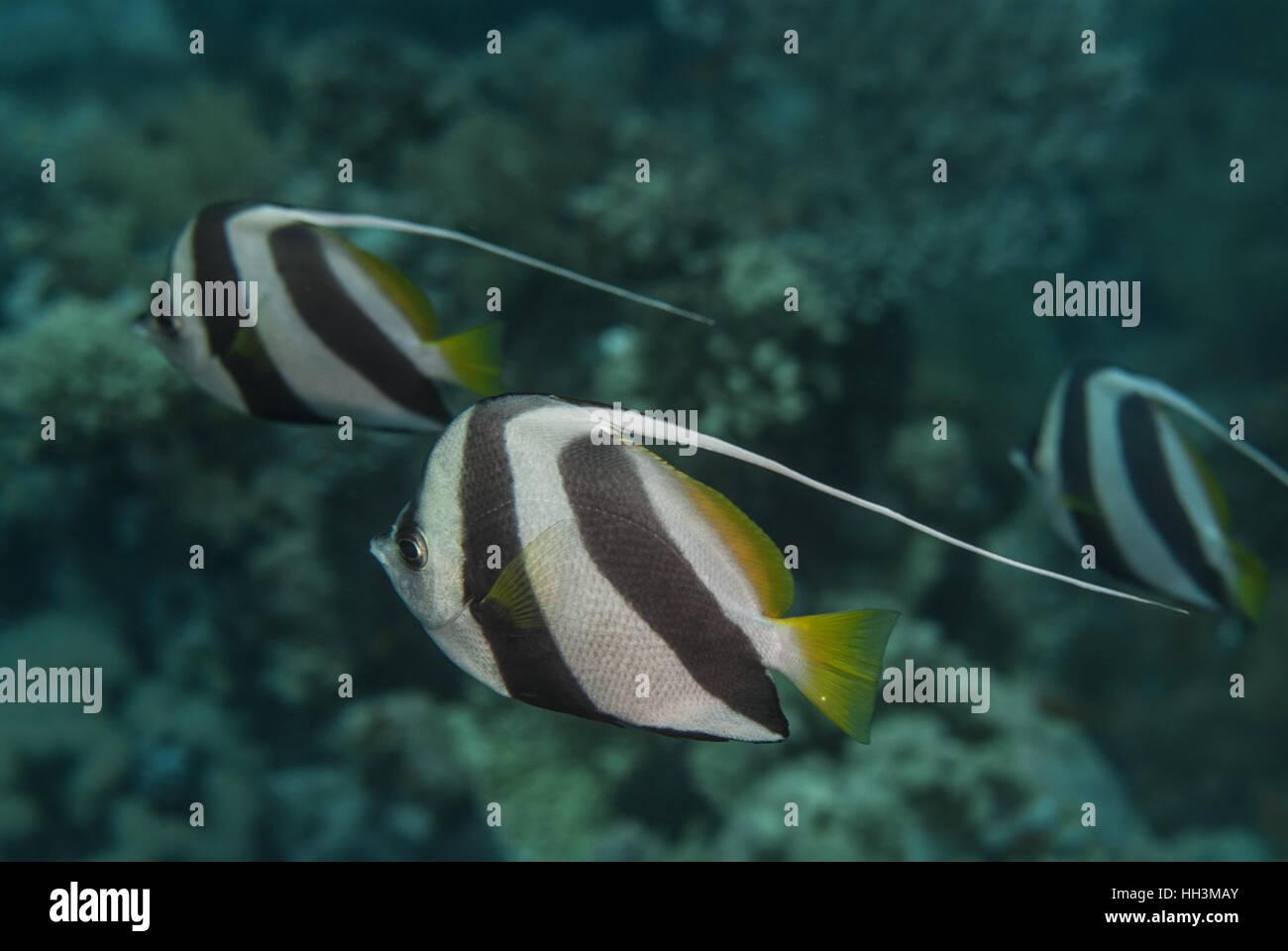 Schulzeit Bannerfish, Heniochus Diphreutes, Chetodontidae, Tiran Island, Rotes Meer, Sharm el-Sheikh, Ägypten Stockbild