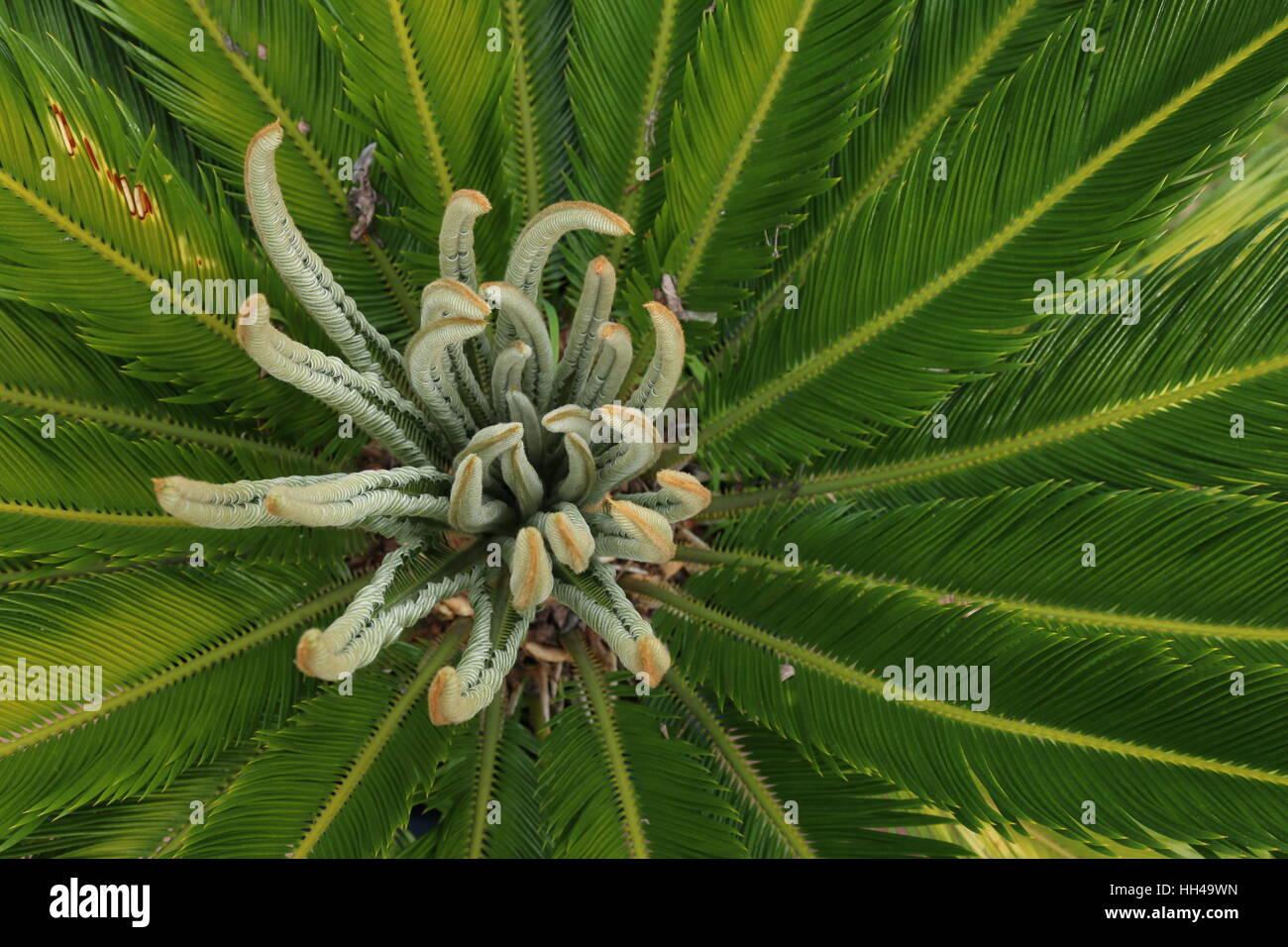cycas palme stockfoto bild 131017313 alamy. Black Bedroom Furniture Sets. Home Design Ideas