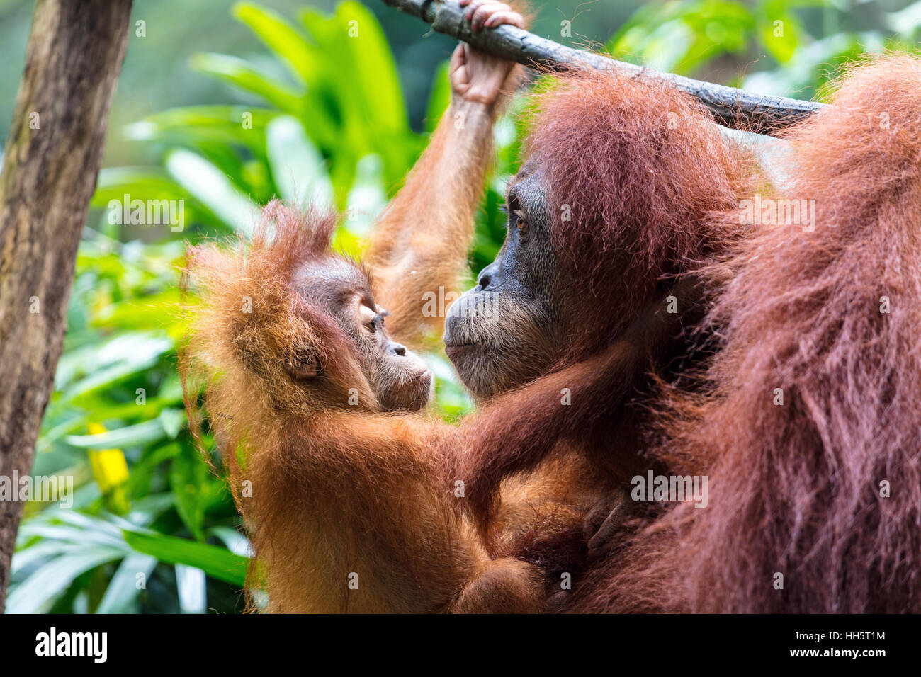 Mutter mit Baby Orang-Utan Stockbild