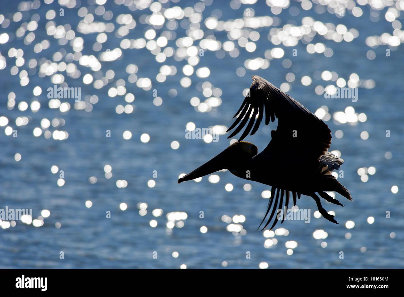 Ein brauner Pelikan fliegt vor glitzernden blauen Wasser an einem sonnigen Tag. Stockbild