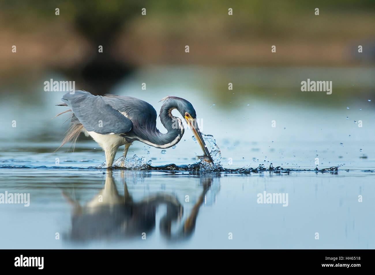 Eine dreifarbige Heron zupft ein kleiner Fisch aus dem flachen Wasser mit einem big Splash an einem sonnigen Morgen. Stockbild