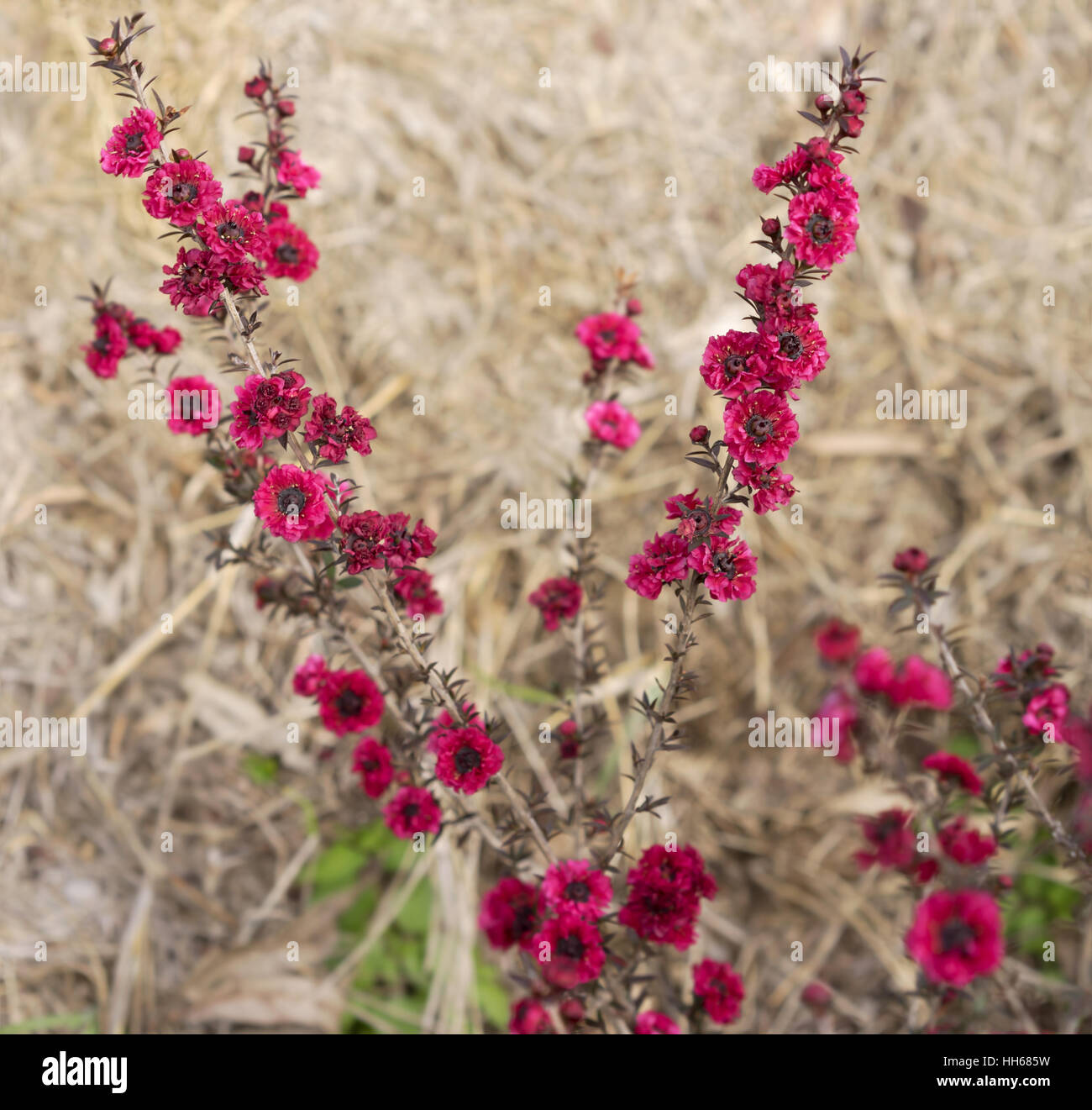 Leptospermum Scoparium Burgund Königin, rosa roten kleinen australischen einheimischen Blumen blühen im Stockbild