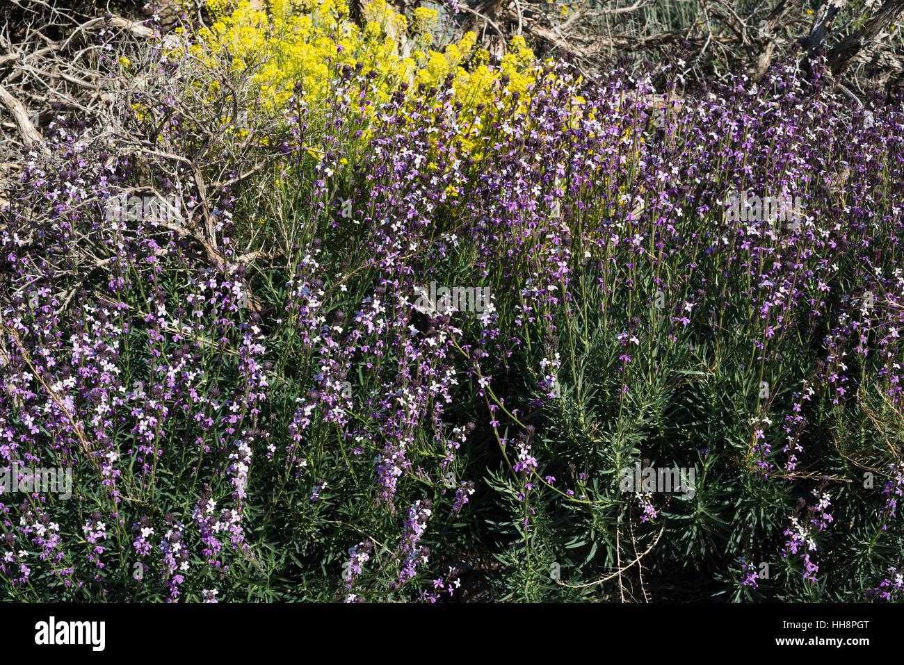 Wegrauke Scoparium (Alhelí del Teide, Teide Mauerblümchen), blühen im Frühjahr mit Yelllow Descurainia Stockbild