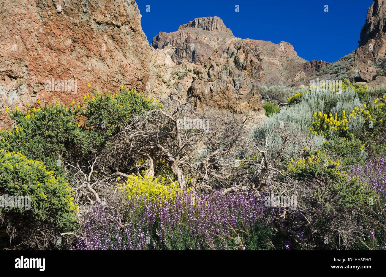 Wegrauke Scoparium (Teide Mauerblümchen), Descurainia Bourgeauana (Teneriffa Flixweed) und Adenocarpus Viscosus Stockbild