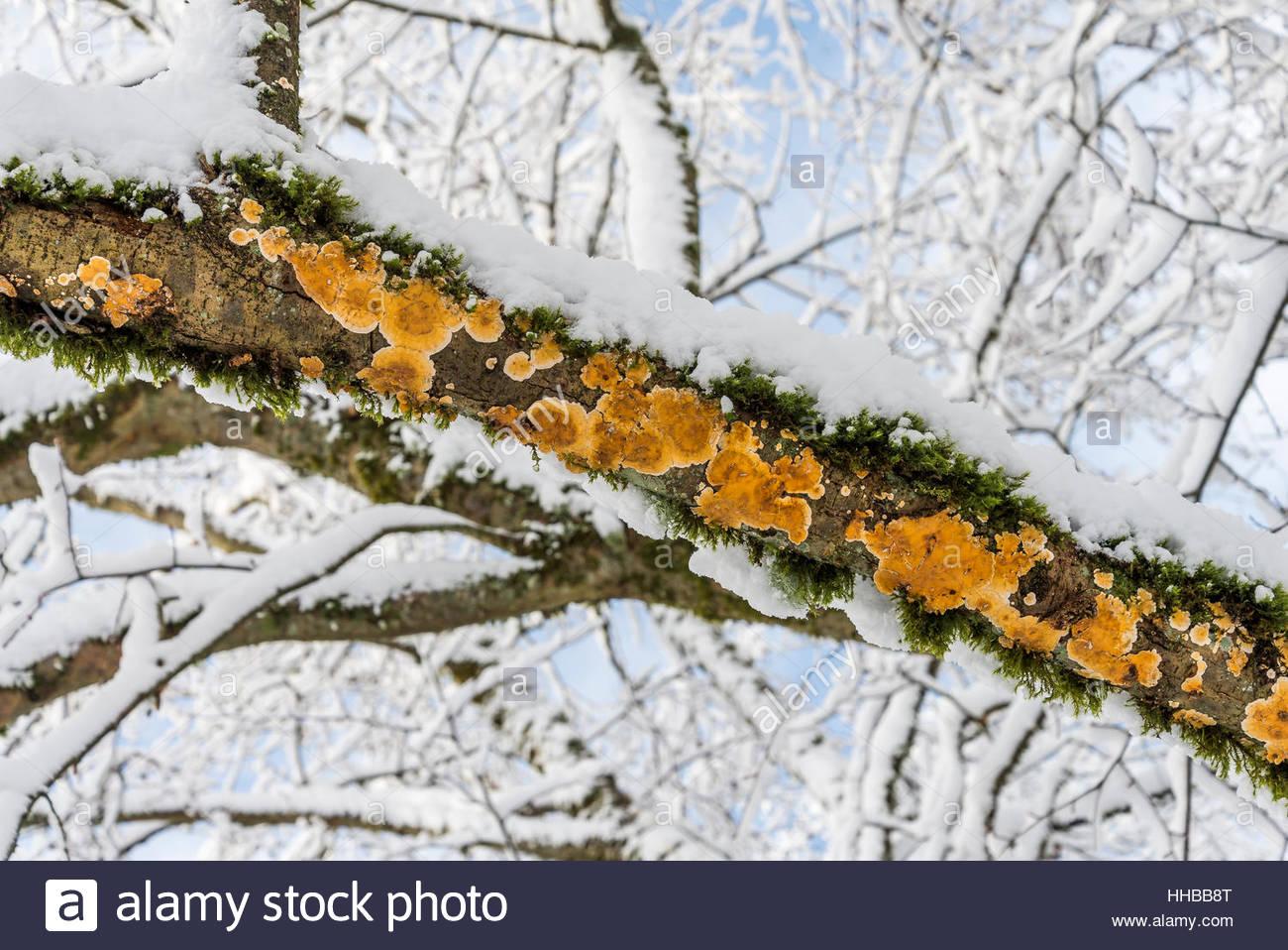 Pilz auf Schnee bedeckten Ast Stockbild