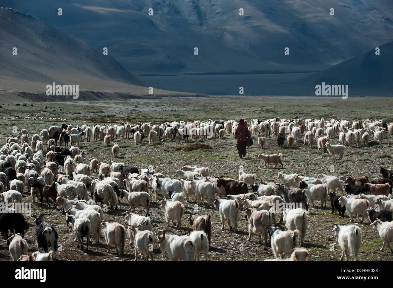 Wenn nicht das Land von Milch und Honig, Weideflächen sind noch die Provinz von Milch, Fleisch und Wolle, Ladakh, Stockbild