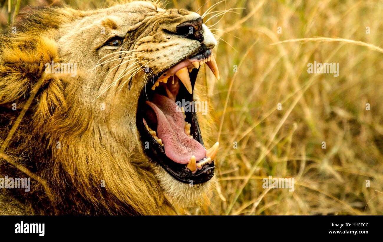 Ein Bild mit einem brüllenden Löwen Stockfoto