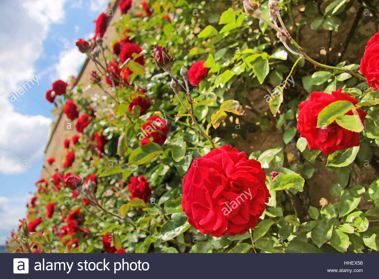 blume rose pflanze rosen wand rosenstrauch rot alte garten blume pflanze stockfoto. Black Bedroom Furniture Sets. Home Design Ideas