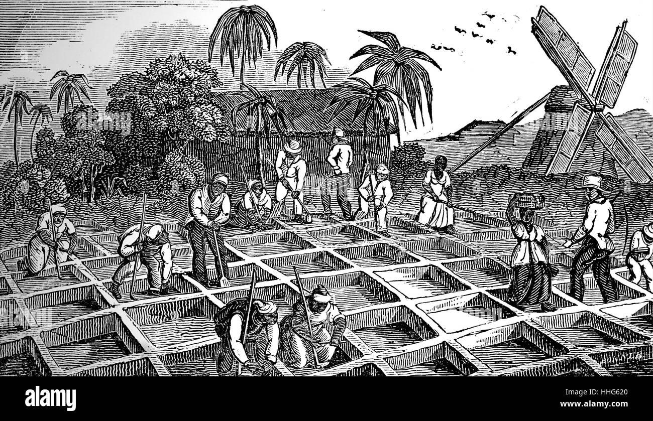 Anpflanzung von Zuckerrohr in den West Indies. Stockbild