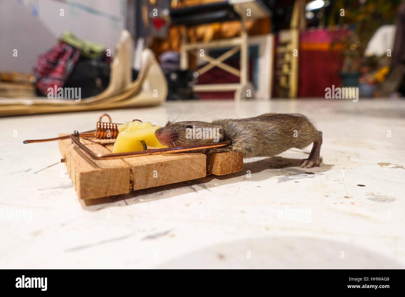 mice cheese stockfotos mice cheese bilder alamy. Black Bedroom Furniture Sets. Home Design Ideas