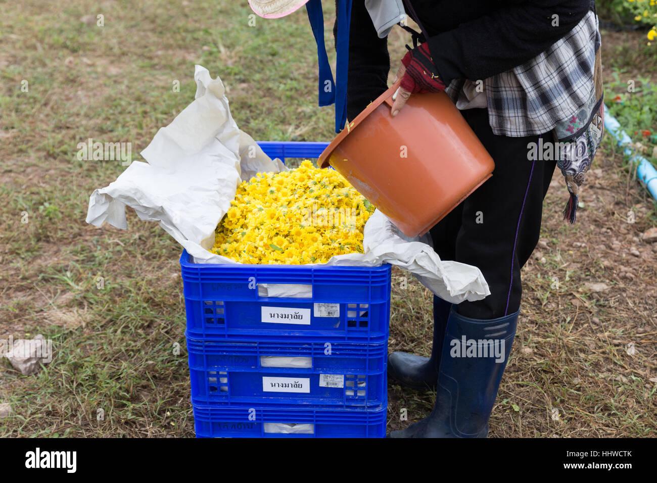 Chiang Mai, Thailand - 28. November 2016: Unbekannter Bauer Ernte Chrysanthemenblüte zur Herstellung von Tee in Maejo Bauernhof in Chiang Mai, Thailand Stockfoto