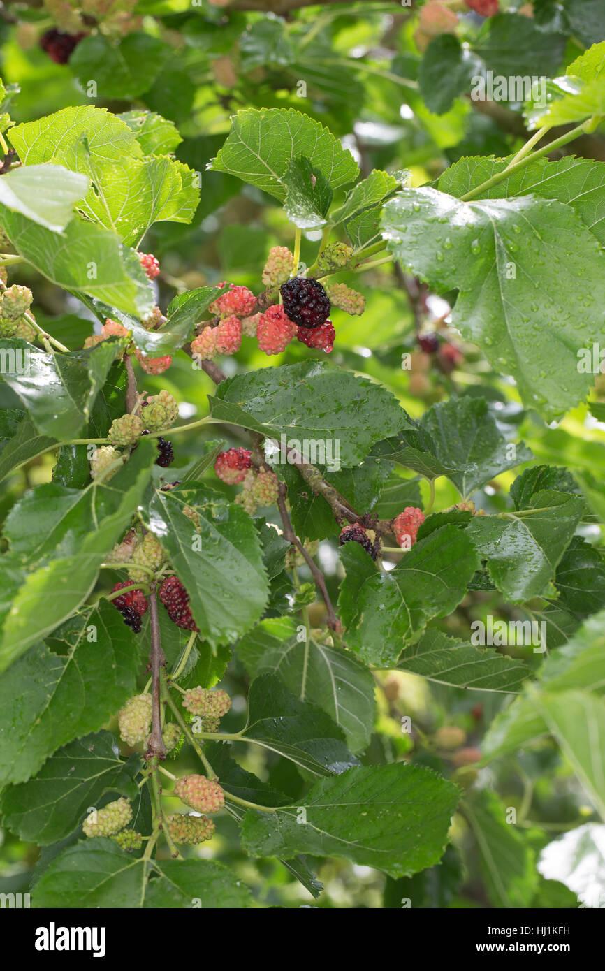 schwarzer maulbeerbaum frucht fr chte schwarze. Black Bedroom Furniture Sets. Home Design Ideas