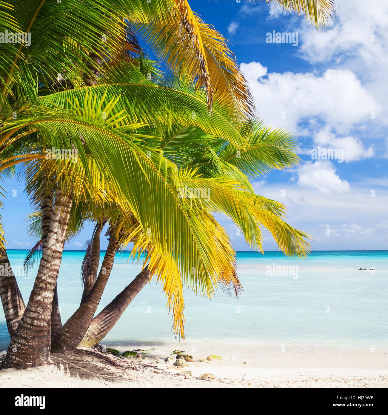 Kokos-Palmen wachsen am weißen Sandstrand. Karibik-Küste, Dominikanische Republik, Isla Saona. Natürliche Stockbild