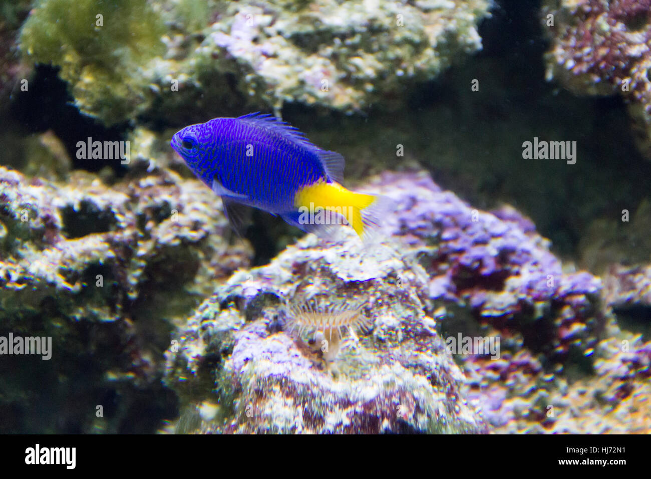 Foto von Aquarium Fisch Chrysiptera Parasema mit gelben Schweif Stockbild